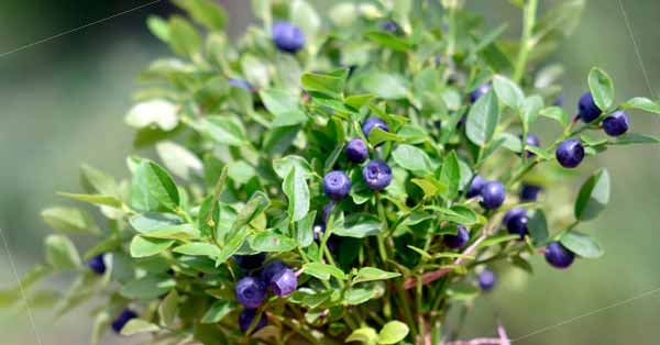 5 good reasons to eat blueberries